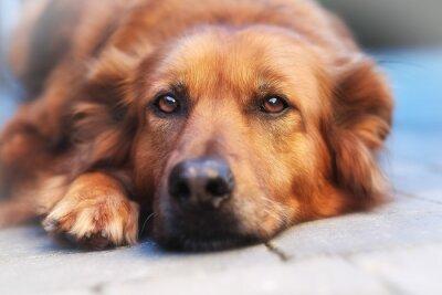 Fototapeta Close-up z psem rasy mieszanej