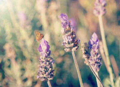 Fototapeta Closeup of a Lavender flowers with a butterfly