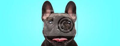 Fototapeta closeup of an adorable french bulldog puppy dog looking very happy and eager