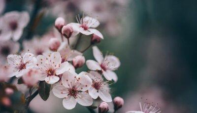 Fototapeta Closeup of spring blossom flower on dark bokeh background.