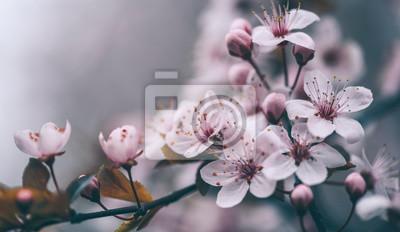 Fototapeta Closeup of spring blossom flower on dark bokeh background. Macro cherry blossom tree branch