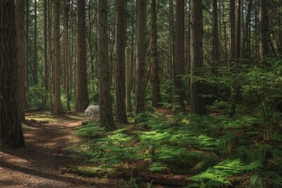 Fototapeta Closeup shot of a lone white wolf in green woodland in Washington state in the USA