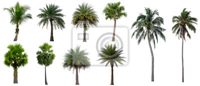 Fototapeta Collection Beautiful coconut and palm trees Isolated on white background , Suitable for use in architectural design , Decoration work , Used with natural articles both on print and website.