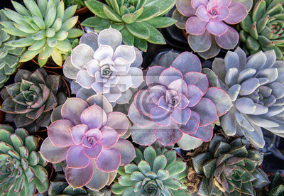 Fototapeta Collection of small decorative succulents in pots, top view.