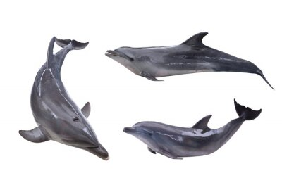 Fototapeta collection of three isolated grey dolphins