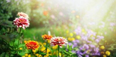 Fototapeta Colorful beautiful flowers Zínnia spring summer in Sunny garden in sunlight on nature outdoors.