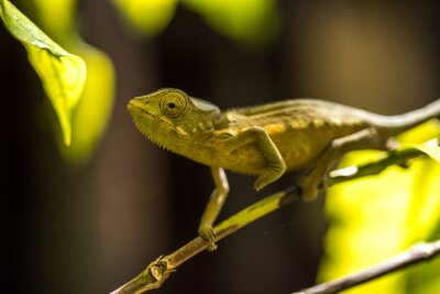 Fototapeta Colorful chameleon of Madagascar, very shallow focus
