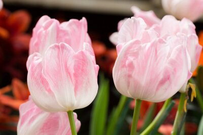 Fototapeta colorful tulips flower blooming in floral garden