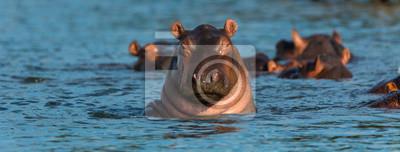 Fototapeta COMMON HIPPO (Hippopotamus amphibius), Zambezi river, Victoria Falls or Mosi-Oa-Tunya, Zambia and  Zimbabwe, Africa