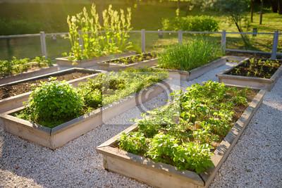 Fototapeta Community kitchen garden. Raised garden beds with plants in vegetable community garden.