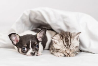 Fototapeta Cozy Chihuahua puppy and tabby kitten sleep together under white warm blanket on a bed at home