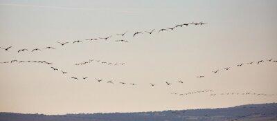 Fototapeta Cranes birds (Grullas) flying in group close to fields in Gallocanta, Spain