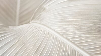 Fototapeta Creamy bird of paradise leaf background design resource