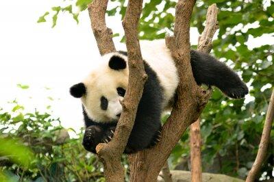 Fototapeta Cub z Giant Panda Bear gra na drzewie Chengdu, Chiny