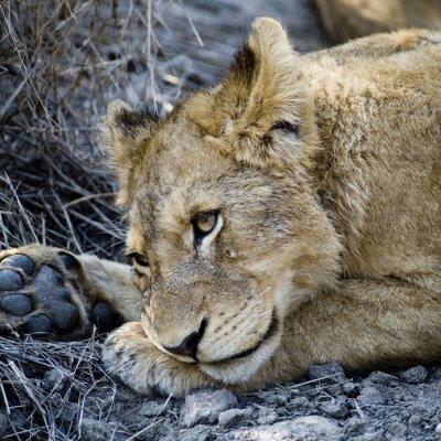 Fototapeta Cucciolo di Leone rezerwy (Panthera leo) ripreso nel Timbavati przyrody w Afryce Sud