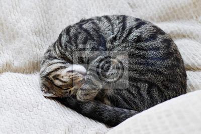 Fototapeta curled up tabby cat sleeping on pillows