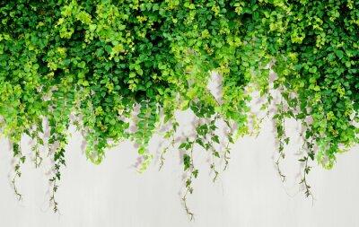 Fototapeta Curly ivy leaves isolated on light background.