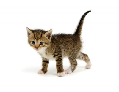 Cut baby tabby kitten on white
