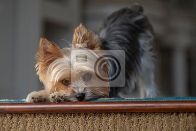 Fototapeta Cute dog looking