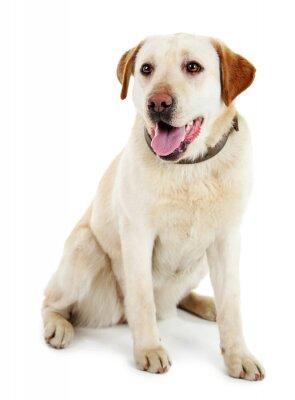 Fototapeta Cute dog z smyczy na białym tle