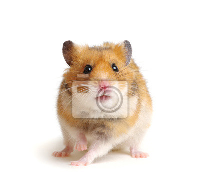 Cute funny syrian hamster on white