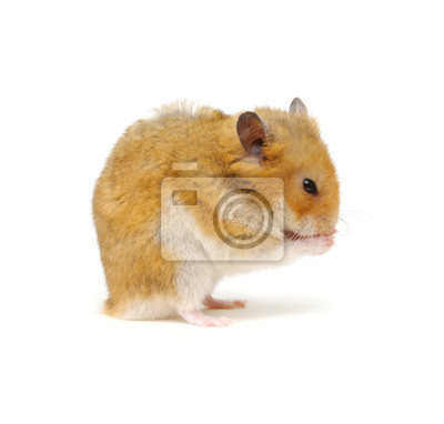 Cute hamster washing up on white