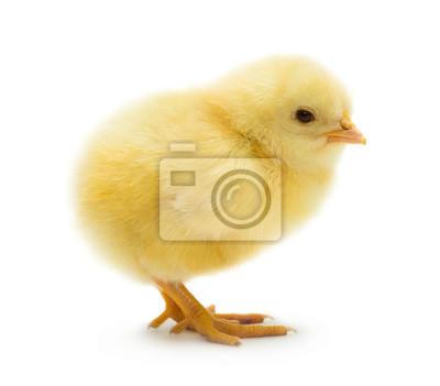 Fototapeta Cute little chicken