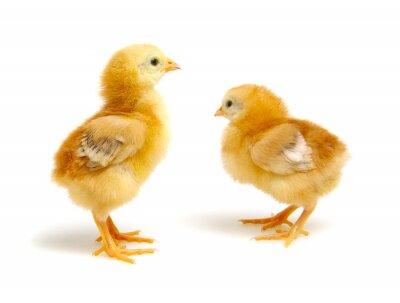 cute little newborn chickens