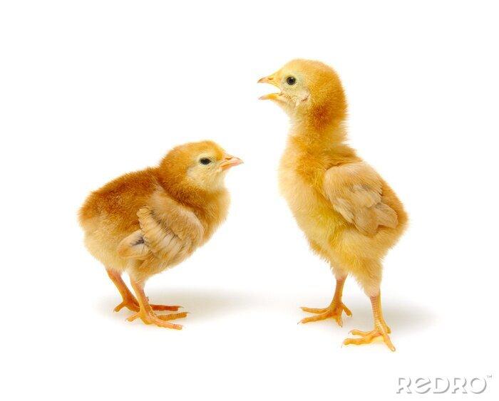 Fototapeta cute little newborn chickens
