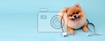 Fototapeta Cute little pomeranian dog with stethoscope as veterinarian on blue background.