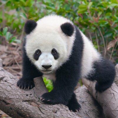 Fototapeta Cute młoda panda cub