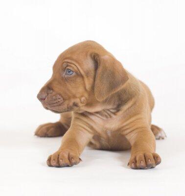 Fototapeta Cute puppy leżącej, patrząc na syide, zdjęcie na białym tle