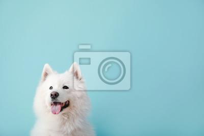Fototapeta Cute Samoyed dog on color background