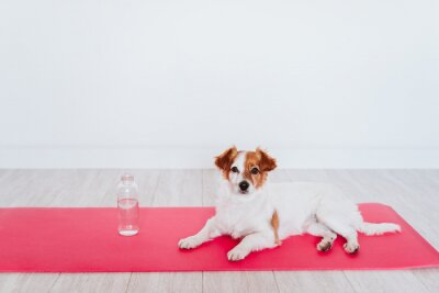 Fototapeta cute small jack russell dog lying on a yoga mat at home. Bottle of water besides. Healthy lifestyle indoors