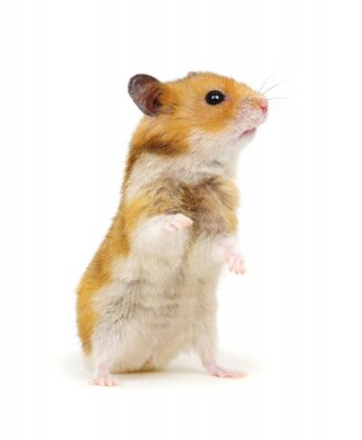 Cute syrian hamster standing on its hind legs