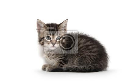 Fototapeta Cute tabby kitten on white