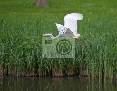 Czapla biała latające nad kanałem