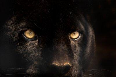 Fototapeta czarna pantera