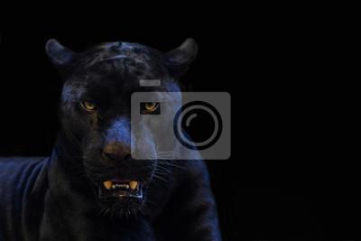 Fototapeta czarna pantera strzał z bliska z czarnym tłem