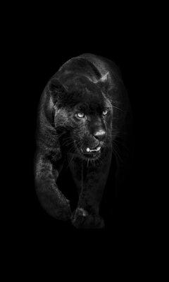 Fototapeta czarna pantera wychodzi z ciemności w światło