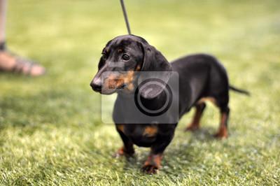 czarny-podpalany-jamnik-pies-na-wystawie