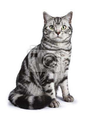 Fototapeta Czarny pręgowany Kot brytyjski krótkowłosy Kot siedzi prosto na białym tle spojrzenie na aparat