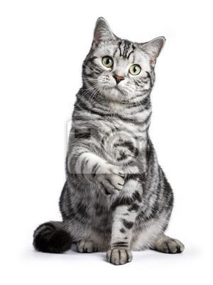 Fototapeta Czarny pręgowany Kot brytyjski krótkowłosy siedzi prosto z podniesioną łapę na białym tle patrząc na kamery