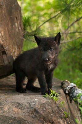 Fototapeta Czarny Wilk (Canis lupus) Pup stoi na szczycie Skały