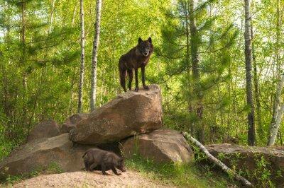 Fototapeta Czarny Wilk (Canis lupus) stoi na szczycie Den