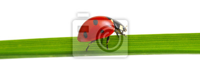 czerwona biedronka na trawie