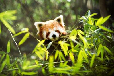 Fototapeta Czerwona panda