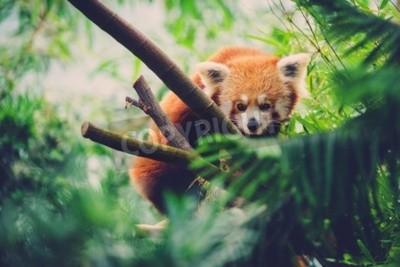 Fototapeta Czerwona Panda idzie wzdłuż bambusa drzewa