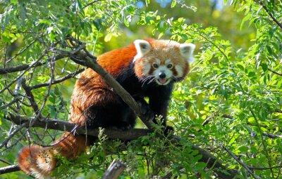 Fototapeta Czerwona panda siedzi na gałęzi drzewa