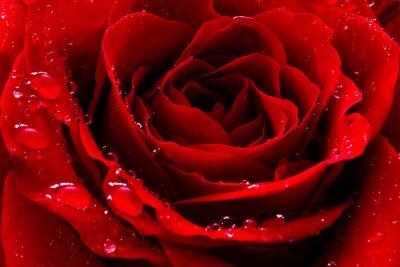 Fototapeta czerwona róża z krople wody